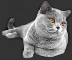 Koty Brytyjskie Mioty I Kociaki Historia Powstania Hodowli
