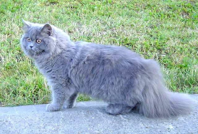 Koty Brytyjskie Długowłose Uznana Rasa Kotów