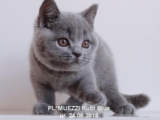 Kot Brytyjski Niebieski Krótkowłosy Hodowla Muezzi