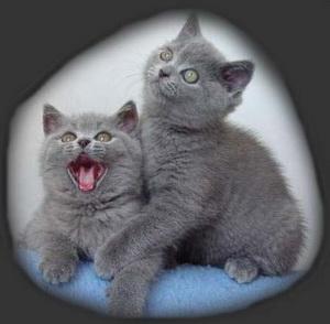 Kot Brytyjski Z Hodowli Muezzi Kot W Nowym Domu